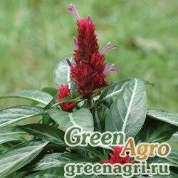 """Порфирокома Поля (Porphyrocoma pholiana) """"Maracas"""" (red) raw 100 шт."""