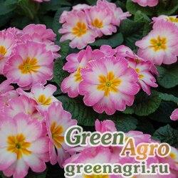 """Примула бесстебельная (Primula acaulis) """"Pioneer F1"""" (formula mixture) raw 1000 шт."""