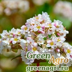 Гречиха 5 кг Зеленый уголок