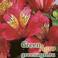 Семена Альстромерия гибридная Alstroemeria hybrida JAZZE DEEP ROSE Raw 100