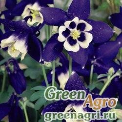 "Аквилегия гибридная (Aquilegia hybrida) ""Spring Magic"" (navy & white) raw 1000 шт."