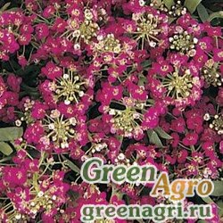 """Алиссум морской компактный (Lobularia maritima) """"Easter Bonnet"""" (deep rose) coated 1000 шт."""