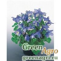 "Семена Аквилегия вееровидная (Aquilegia flabellata) ""Cameo F1"" (Blue and White) raw 1000 шт."