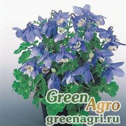 "Аквилегия вееровидная (Aquilegia flabellata) ""Cameo F1"" (Blue and White) raw 1000 шт."