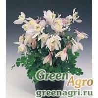"Семена Аквилегия вееровидная (Aquilegia flabellata) ""Cameo f1"" (blush) Raw 1000 шт."