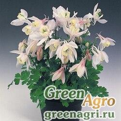 "Аквилегия вееровидная (Aquilegia flabellata) ""Cameo f1"" (blush) Raw 1000 шт."