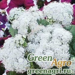 "Агератум мексиканский (Ageratum houstonianum) ""High Tide F1"" (white) pelleted 1000 шт."