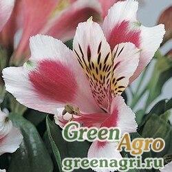 Семена Альстромерия гибридная Alstroemeria hybrida JAZZE ROSE FROST Raw 100