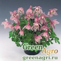 Семена Аквилегия вееровидная Aquilegia flabellata Cameo F1 Pink and white Raw 1000