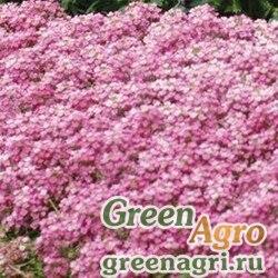 """Алиссум морской компактный (Lobularia maritima) """"Easter Bonnet"""" (deep pink) coated 1000 шт."""