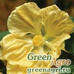 Абутилон гибридный Abutilon hybridum Bella yellow Raw 100