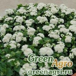 "Агератум мексиканский (Ageratum houstonianum) ""Aloha F1"" (white) raw 1000 шт."