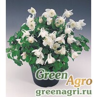 "Семена Аквилегия вееровидная (Aquilegia flabellata) ""Cameo f1"" (white) Raw 1000 шт."
