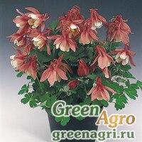 "Семена Аквилегия вееровидная (Aquilegia flabellata) ""Cameo f1"" (rose and white) Raw 1000 шт."