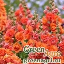 """Львиный зев (Антирринум) большой (Antirrhinum majus) """"Kimosy"""" (orange) Произв. 4 гр."""