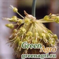 Лук косой (Allium obliquum) 4 гр.