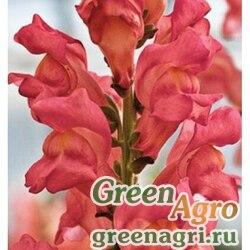 "Львиный зев (Антирринум) большой (Antirrhinum majus) ""Opus III/IV F1"" (pink) raw 1000 шт."