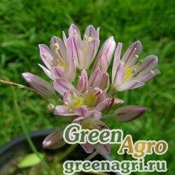Лук Кунта (Allium kuntianum) 3 гр.