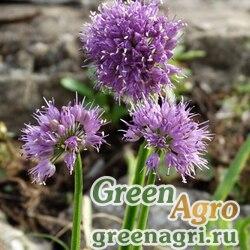 Лук спиральный (Allium spirale) 5 г