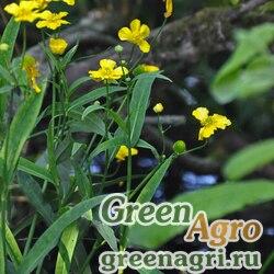 Лютик длиннолистный (Ranunculus lingua) 1 гр.