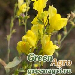 Льнянка дроколистная (Linaria genistifolia) 0.6 гр.