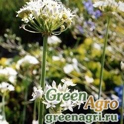 Лук душистый (Allium odorum) 4 гр.