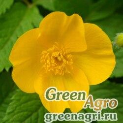 Мак лесной весенний (Hylomecon vernalis) 10 гр.
