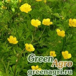 Лютик кавказский (Ranunculus caucasicus) 2 гр.