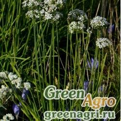 Лук клубненосный (Allium tuberosa) 5 гр.