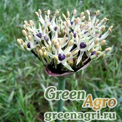 Лук Кирилла (Allium cyrilli) 2 гр.