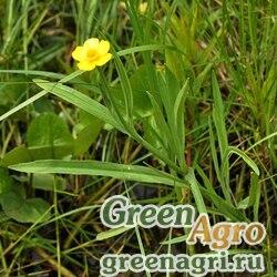 Лютик амурский (Ranunculus amurensis) 10 гр.