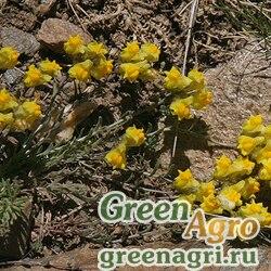 Льнянка невадская (Linaria nevadensis) 1.5 гр.