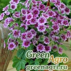 """Мальва лесная (Malva sylvestris) """"Zebrina"""" (lilac pink) 15 гр."""