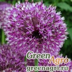 Лук езданский (Allium jesdianum) 4 гр.