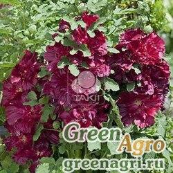 "Мальва (Штокроза) розовая (Alcea rosea annua) ""Spring Celebrities"" (purple) raw 1000 шт."