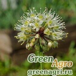 Лук микросетчатый (Allium microdictyon) 4 гр.
