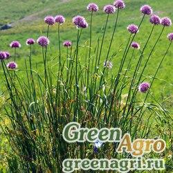 Лук плевокорневищный (Allium hymenorhizum) 2 гр.