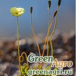 Мак лапландский арктический (Papaver lapponicum var.arcticum) 2 гр.
