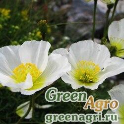 Мак альпийский (Papaver alpina) (mixed) 5 гр.