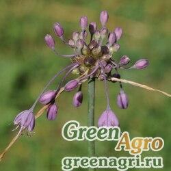 Лук килеватый (Allium carinatum) 2 гр.