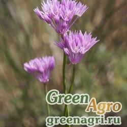 Лук красненький (Allium rubellum) 3 гр.