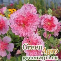 "Мальва (Штокроза) розовая (Alcea rosea annua) ""Spring Celebrities"" (rose) raw 1000 шт."