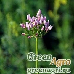 Лук угловатый (Allium angulosum) 2 гр.