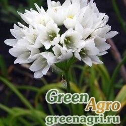 Лук зебданский (Allium zebdanense) 3 гр.