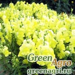 """Львиный зев (Антирринум) большой (Antirrhinum majus) """"Golden Monarch"""" 30 гр."""
