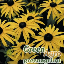 """Рудбекия блестящая (Rudbeckia fulgida) """"Goldsturm"""" (golden yellow) apex 1000 шт."""