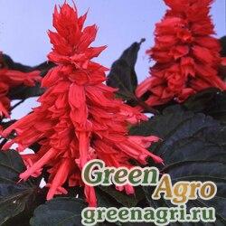 """Сальвия блестящая (Salvia splendens) """"Amore"""" (rose) raw 1000 шт."""