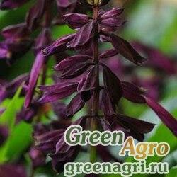 """Сальвия блестящая (Salvia splendens) """"Lighthouse"""" (purple) raw 1000 шт."""