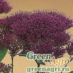 Трахелиум синий Trachelium caeruleum Lake Michigan Purple Pelleted 1000