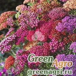 "Тысячелистник обыкновенный (Achillea millefolium) ""Flowerburst F2"" (red shades) raw 1000 шт."